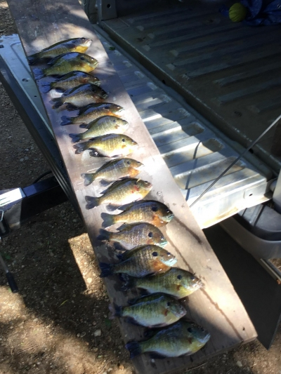 Blue gill fish on tailgate